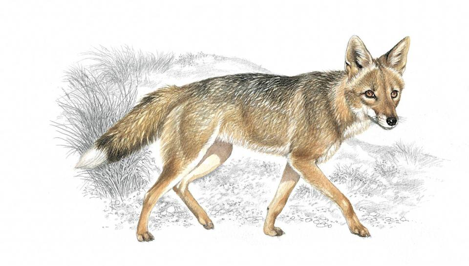 <p>The Falkland Islands wolf went extinct in the late 1800s and was also known as the Antarctic wolf and the Falkland Islands fox.</p><p>These wolves were native to the Falklands off of Argentina and were quite isolated from the world until humans reached the islands and hunted them (kind of easily because the wolves were so friendly).</p><p>Scientists believe these wolves fed on penguins and other ground-nesting birds in addition to seal pups.</p><p><strong>Cause of Extinction:</strong> hunting.</p>