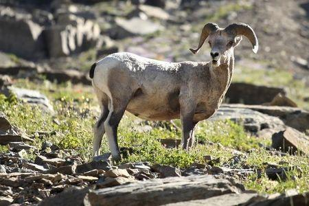 A bighorn sheep stands atop a pile of rocks near the Highline Trail in Glacier National Park in Montana