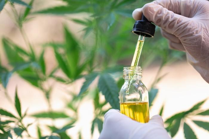 A gloved hand holding a full dropper and vial of cannabidiol liquid in front of a hemp plant.