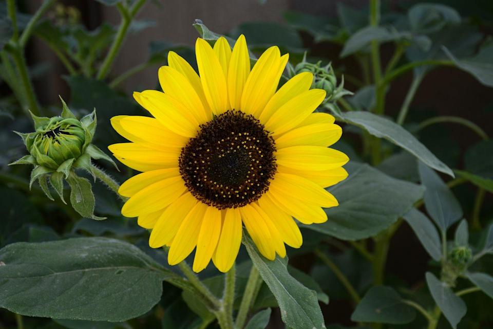 """<p>It's no wonder sunflowers attract bees—they're gorgeous. They require full sun and are drought tolerant. Put them in patio containers, garden beds, or along borders. Yellow sunflowers are iconic, but the flower actually comes in more than 70 varieties.</p><p>Varieties to try: American Giant, Firecracker</p><p><a class=""""link rapid-noclick-resp"""" href=""""https://go.redirectingat.com?id=74968X1596630&url=https%3A%2F%2Fwww.burpee.com%2Fflowers%2Fsunflowers%2Fsunflower-sunray-yellow-hybrid-31445A.html&sref=https%3A%2F%2Fwww.housebeautiful.com%2Fentertaining%2Fflower-arrangements%2Fg2411%2Fpopular-flowers-summer%2F"""" rel=""""nofollow noopener"""" target=""""_blank"""" data-ylk=""""slk:SHOP NOW"""">SHOP NOW</a></p>"""