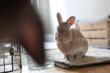 One of the eight bunnies adopted by Jacob Levitt sits at his apartment in New York, U.S., April 11, 2019. Picture taken April 11, 2019. REUTERS/Shannon Stapleton