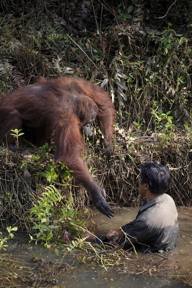 Pri-mates. The orangutan holds out his hand to help the man in the water.