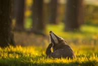 """<p>The awards range across 15 categories. The Animal Behaviour category was won by Andrew Parkinson's picture of this badger taken in Derbyshire, dubbed Crepuscular Contentment. [Picture: Andrew Parkinson/<a href=""""http://www.bwpawards.org"""" rel=""""nofollow noopener"""" target=""""_blank"""" data-ylk=""""slk:www.bwpawards.org"""" class=""""link rapid-noclick-resp"""">www.bwpawards.org</a>] </p>"""