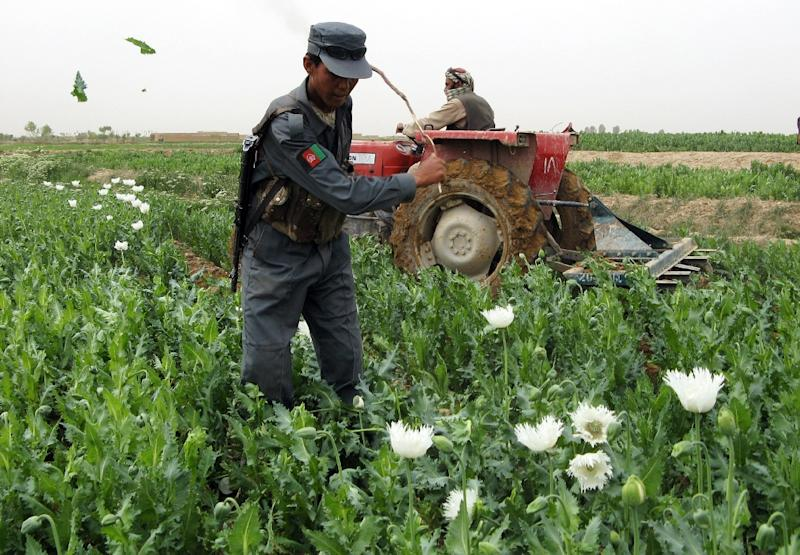 An Afghan policeman destroyes a field of poppies in the Nade-i-Ali district of southern Helmand province (AFP Photo/Abdul Malik)
