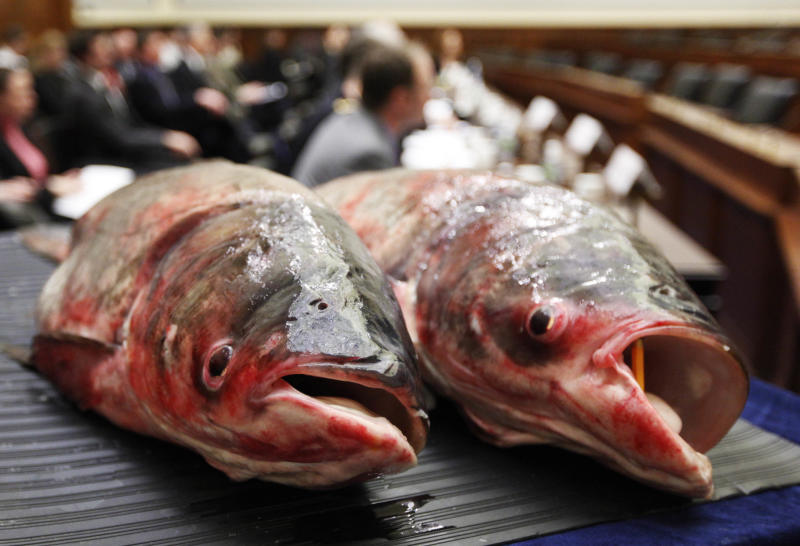 FILE  - In this Feb. 9, 2010 file photo, two Asian carp are displayed on Capitol Hill in Washington, during a Subcommittee on Water Resources and Environment hearing on preventing the induction of the carp, a aquatic invasive species into the Great Lakes. Some worry that spring floods along the Mississippi River may be spreading the Asian carp downstream. Duane Chapman, a U.S. Geological Survey biologist and Asian carp expert, says the fish are likely to show up in places where Mississippi floodwaters intruded. They can weigh up to 100 pounds grow 4 feet long and live for 25 years.  (AP Photo/Manuel Balce Ceneta, File)