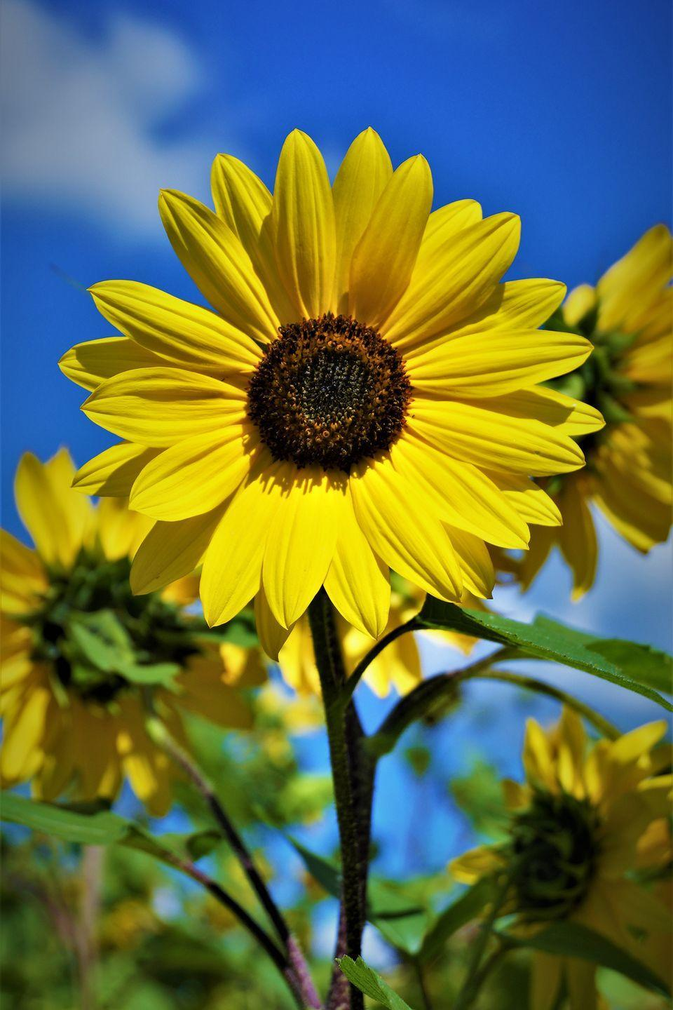 """<p>While you won't find miles and miles of sunflowers at the Longmont, Colorado, <a href=""""https://go.redirectingat.com?id=74968X1596630&url=https%3A%2F%2Fwww.tripadvisor.com%2FAttraction_Review-g33527-d7211676-Reviews-Sunflower_Farm-Longmont_Colorado.html&sref=https%3A%2F%2Fwww.countryliving.com%2Flife%2Ftravel%2Fg21937858%2Fsunflower-fields-near-me%2F"""" rel=""""nofollow noopener"""" target=""""_blank"""" data-ylk=""""slk:Sunflower Farm"""" class=""""link rapid-noclick-resp"""">Sunflower Farm</a>, you will find several sunflower patches to behold, along with a variety of other kid-friendly farm activities and plenty of farm animals to see.</p><p><a class=""""link rapid-noclick-resp"""" href=""""https://go.redirectingat.com?id=74968X1596630&url=https%3A%2F%2Fwww.tripadvisor.com%2FTourism-g33527-Longmont_Colorado-Vacations.html&sref=https%3A%2F%2Fwww.countryliving.com%2Flife%2Ftravel%2Fg21937858%2Fsunflower-fields-near-me%2F"""" rel=""""nofollow noopener"""" target=""""_blank"""" data-ylk=""""slk:PLAN YOUR TRIP"""">PLAN YOUR TRIP</a></p>"""
