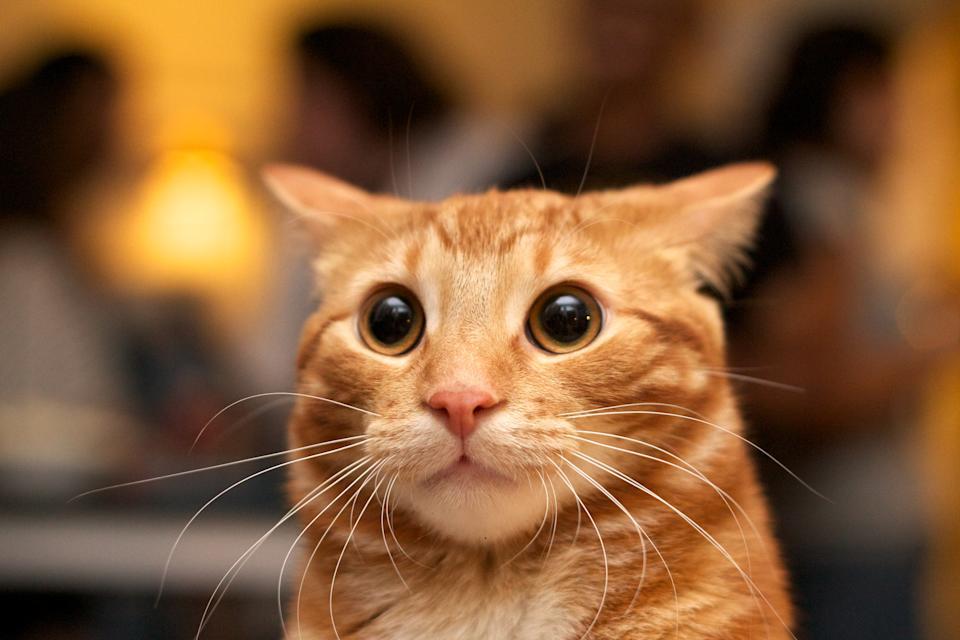 Flash photo of marmalade or orange cat looking surprised with large eyes, ears back.