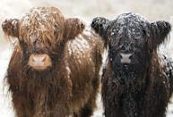 """<p>These highland cows might look super cold, but they're actually meant to be outside in the snow. Cows have <a href=""""https://www.clovermeadowsbeef.com/how-do-cows-stay-warm-in-winter/#:~:text=One%20of%20the%20amazing%20features,a%20layer%20over%20the%20cow."""" rel=""""nofollow noopener"""" target=""""_blank"""" data-ylk=""""slk:a hairy coat"""" class=""""link rapid-noclick-resp"""">a hairy coat</a> that gets thicker and longer in the winter in order to protect them and keep them nice and cozy.</p>"""