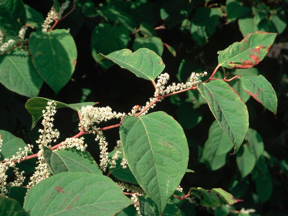 It is illegal to chop down Japanese knotweed (Corbis)