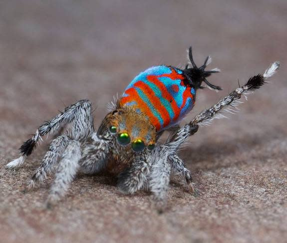 A male of the peacock spider species Maratus jactatus, which is nicknamed Sparklemuffin, lifts its leg as part of a mating dance.