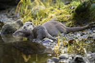 <p>Beneath the roots of riverside trees, the elusive European otter (Lutra lutra) builds a burrow – or 'holt' – of moss and grass. Once her kits are born, she alone then accompanies them for over a year, teaching them to feed and fend for themselves. This includes coaxing (or sometimes shoving) them into the water when they start learning to swim at ten weeks old. It doesn't take long for the kits to gain confidence, though – they are well known for frolicking with family and can even be seen sliding down muddy riverbanks on their fronts with their forepaws tucked in. </p>