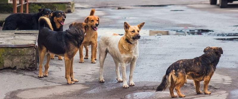 Stray dogs on street makes fear people