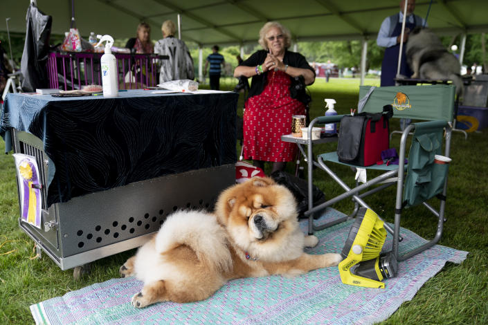 Quinn, a chow chow, who won the top prize in his breed group, rests in front of a fan after judging at the 145th Annual Westminster Kennel Club Dog Show, Saturday, June 12, 2021, in Tarrytown, N.Y. (AP Photo/John Minchillo)