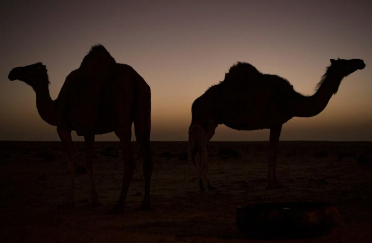 Camels were first introduced to Australia in the 1840sto aid in the exploration of the continent's vast interior, with up to 20,000 imported from India in the six decades that followed