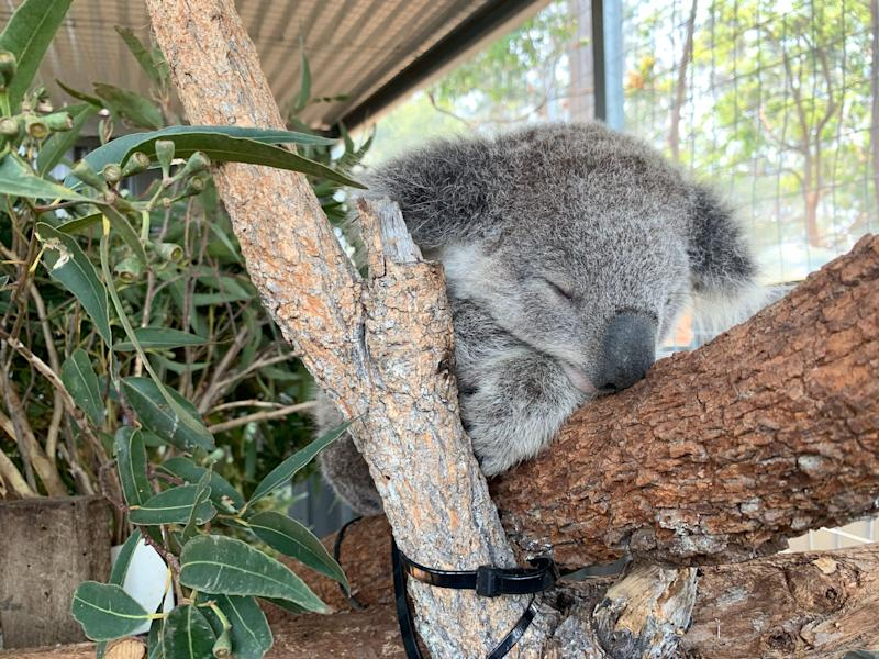 A koala pictured at the Port Macquarie Koala Hospital during the 2019 NSW bushfires