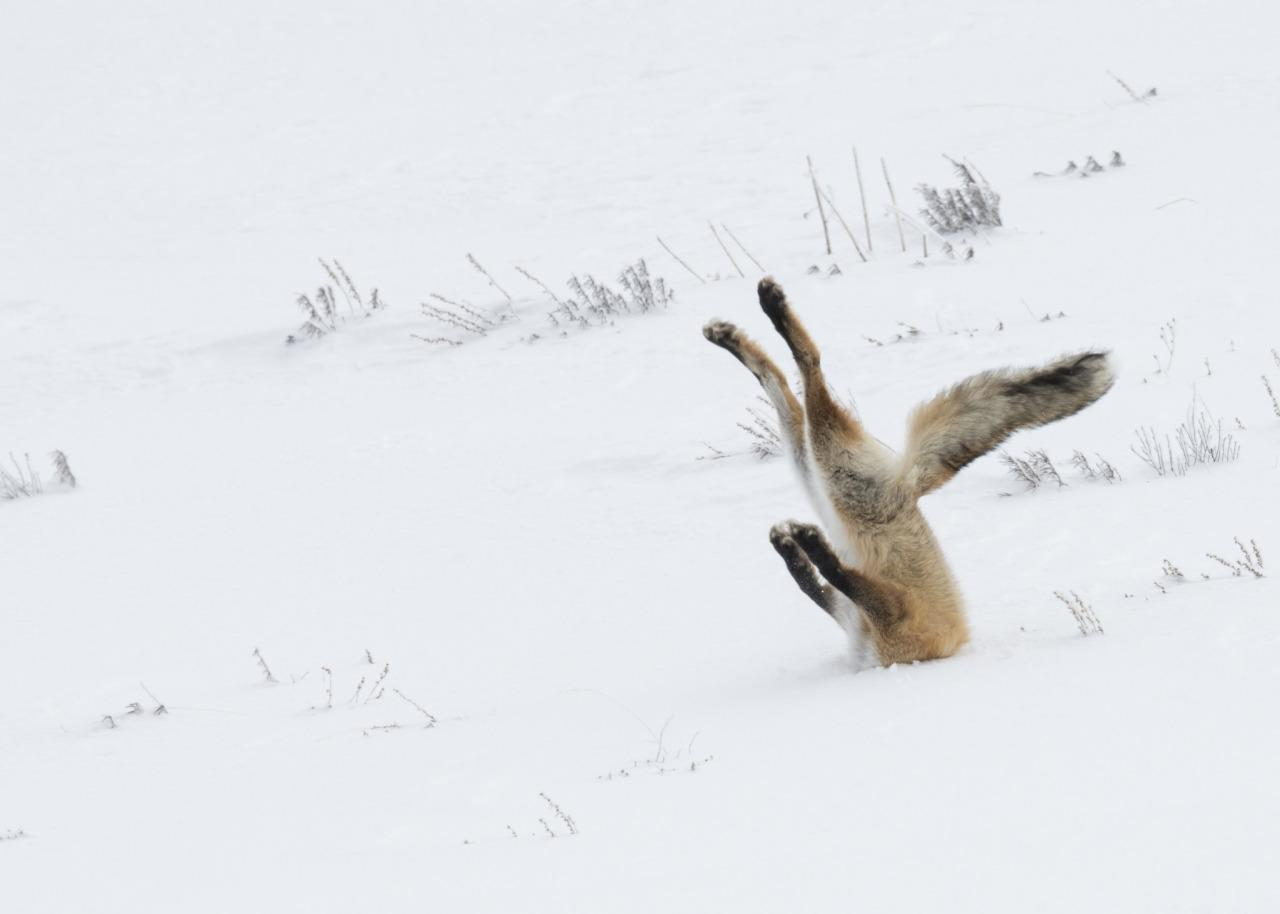 <p>A fox smashes into a snowdrift trying to catch its breakfast. (Angela Bohlke/Barcroft Media) </p>