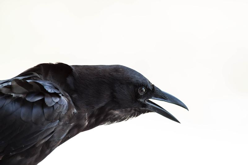Closeup of a crow with his mouth open.
