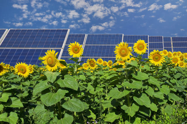Solar panels in a field of sunflowers. (Photo: Getty Images)