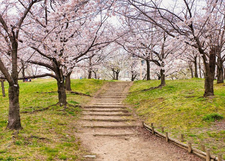Crowds flock to see about 130 varieties of cherry blossoms every year