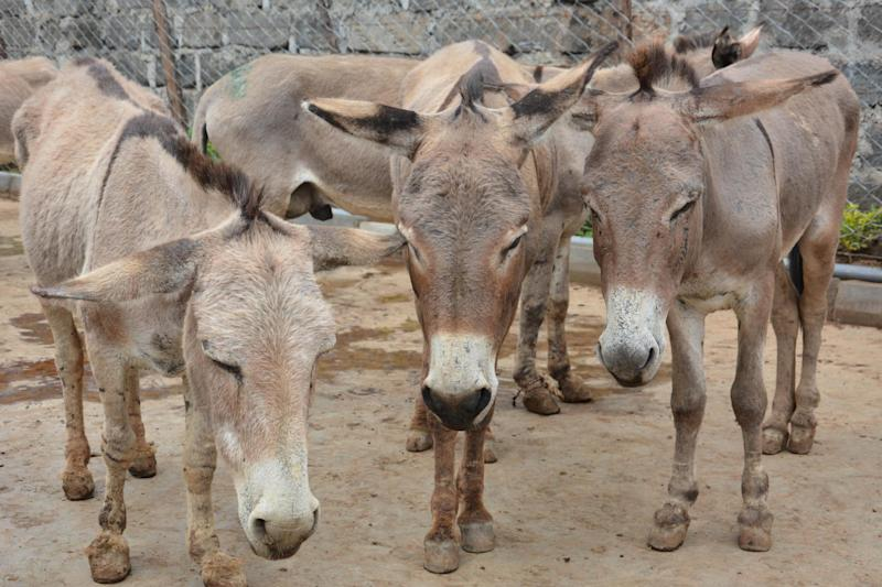 There is a global crisis affecting donkeys, animal welfare charity The Donkey Sanctuary has warned: The Donkey Sanctuary