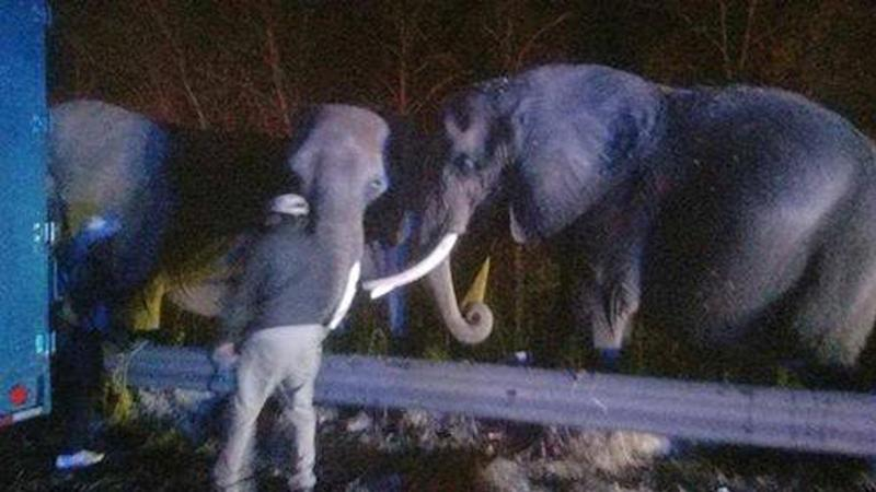 African Elephants Found Grazing at the Side of Tennessee Highway
