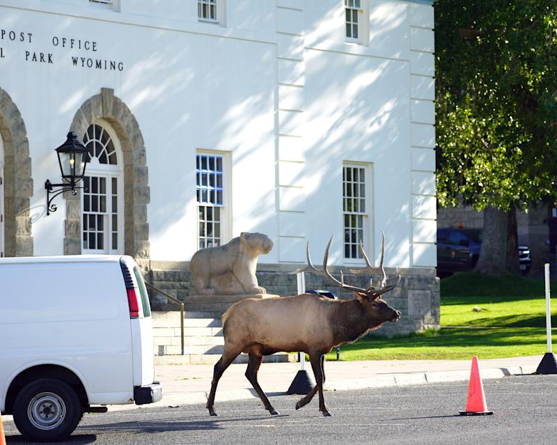 A bull elk walks across the road in front of the U.S. Post Office building in Mammoth Hot Springs inside Yellowstone National Park.