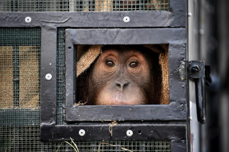 Two Sumatran orangutans flew home from Thailand years after being captured and smuggled into the country