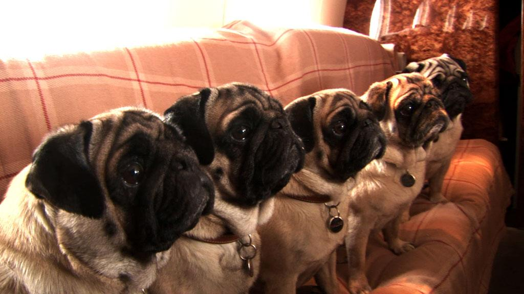 """Valentino's pugs in Acolyte Films' <a href=""""http://movies.yahoo.com/movie/1810040882/info""""> - 2009</a>"""