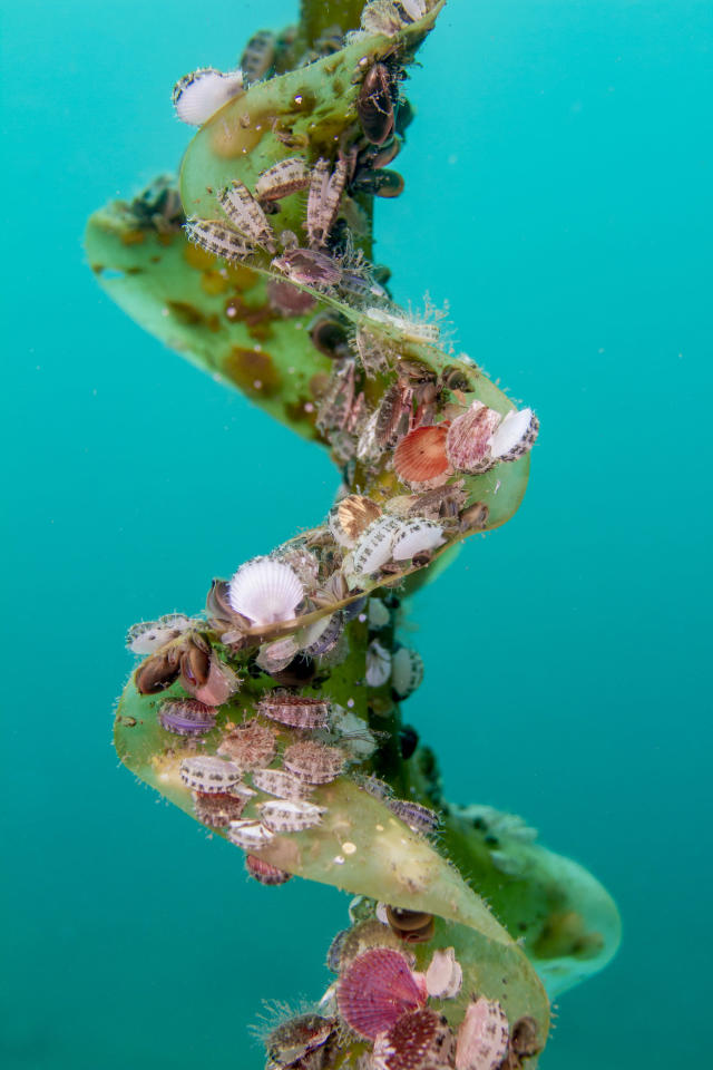 <p>Wild juvenile scallops try to climb higher on a kelp and attach themselves so as to receive as much nutrition as possible in Hakodate Usujiri, Hokkaido, Japan, Aug. 31, 2017. Kelp is excellent residential property for scallops. (Photograph by Toru Kasuya) </p>