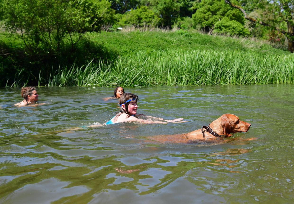 Three-year-old German vizsla Willow joins swimmers