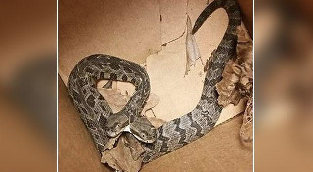 The two-headed snake was found in Arkansas in the US. Source: Supplied