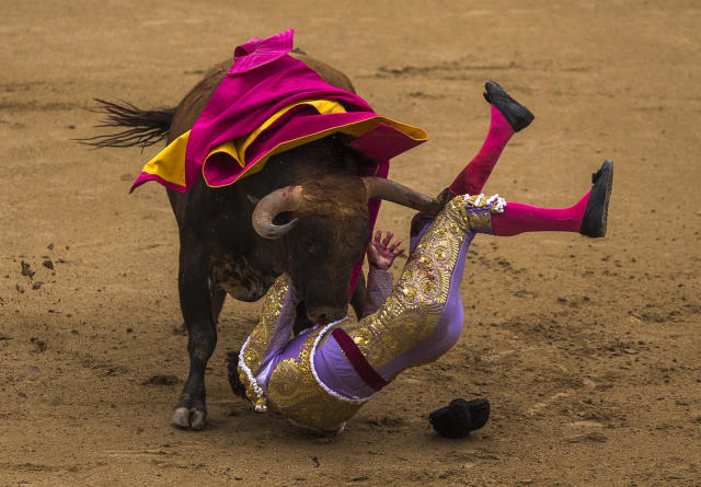 <p>Matador Antonio Nazare is tossed by a Los Chospes ranch fighting bull during a bullfight at Las Ventas bullring in Madrid, May 20, 2014. (AP Photo/Andres Kudacki) </p>