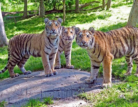 New York's Bronx Zoo is celebrating the first birthdays of six tiger cubs, two sets of triplets born in the spring of 2010. Now that they're more than a year old they are considered adolescents. Seen here are three Amur tigers, a Malayan breed. The zoo says there are fewer than 3,500 tigers in the wild, 1,000 of which are breeding females