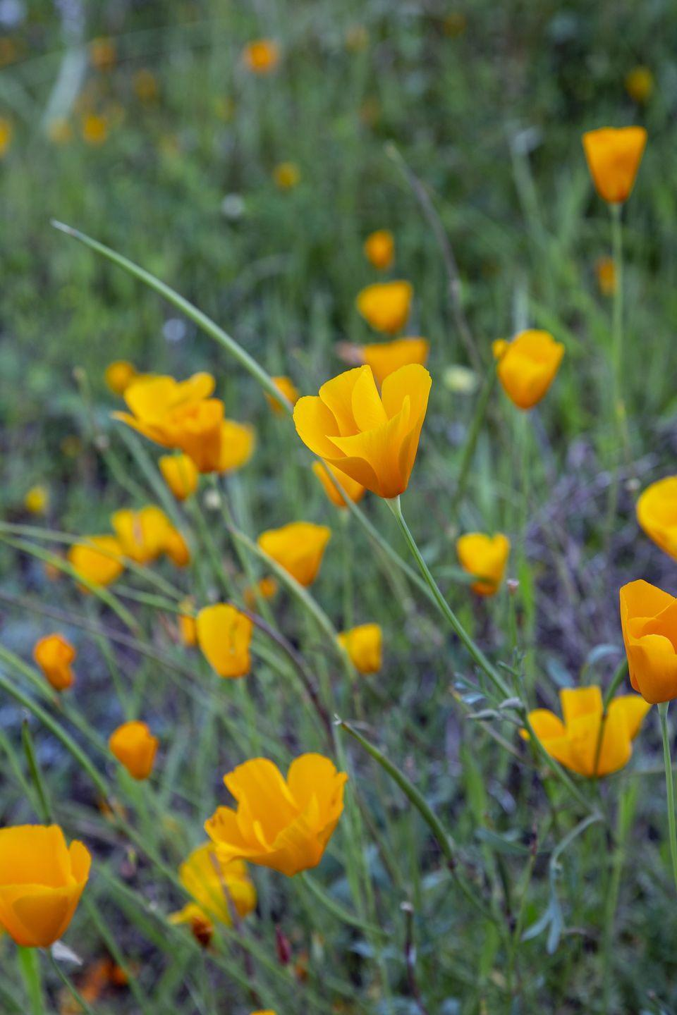 """<p>Bees love the cup-shaped flowers of this native wildflower. Look for their orange, yellow, pink, or white blooms in the spring months.<br><br><a class=""""link rapid-noclick-resp"""" href=""""https://www.amazon.com/Outsidepride-California-Poppy-Wildflower-Seed/dp/B004J0XZBS/ref=sxin_2_ac_d_rm?tag=syn-yahoo-20&ascsubtag=%5Bartid%7C10050.g.32157369%5Bsrc%7Cyahoo-us"""" rel=""""nofollow noopener"""" target=""""_blank"""" data-ylk=""""slk:SHOP NOW"""">SHOP NOW</a> </p>"""
