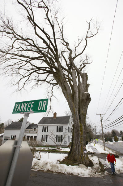 """FILE - In this Dec. 15, 2009 file photo, a pedestrian walks past a large elm tree known as """"Herbie"""" in Yarmouth, Maine. The tree, estimated to be 217 years old, was cut down Jan. 19, 2010 after suffering numerous bouts of Dutch elm disease. """"Herbie"""" may be gone, but he'll live on in cloned trees that are now being made available to the public. (AP Photo/Steven Senne, File)"""