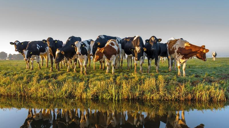 Amid Diplomatic Crisis, Turkey Returns Dutch Cows to Netherlands