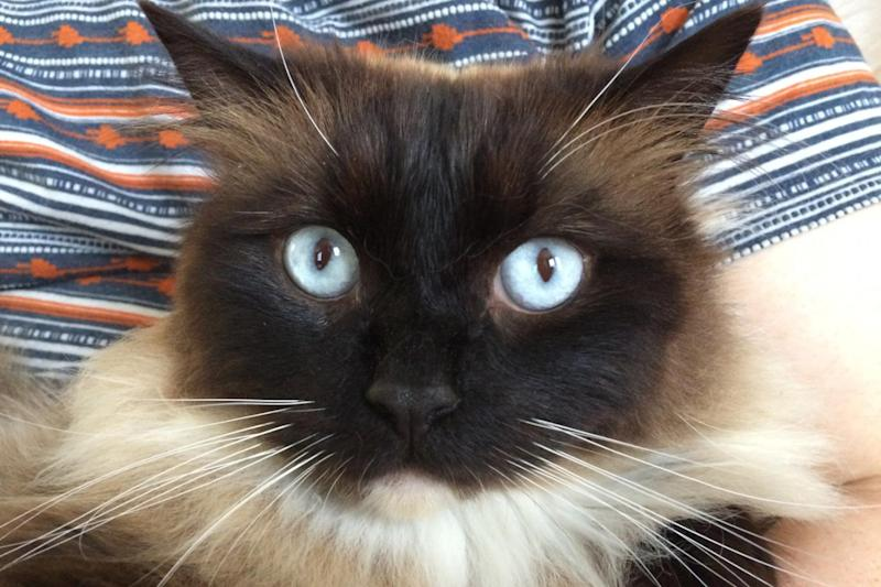 Killed: Ukiyo was one of the first cats to be identified as a victim of the so-called Croydon Cat killer