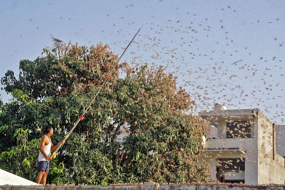 In this photograph taken on May 25, 2020 a resident tries to fend off swarms of locusts from a mango tree in a residential area of Jaipur in the Indian state of Rajasthan. - Authorities on May 25 were combating swarms of desert locusts that have been rampaging across parts of western and central India in the nations worst pest infestation in nearly three decades, an official said. (Photo by Vishal Bhatnagar / AFP) (Photo by VISHAL BHATNAGAR/AFP via Getty Images)