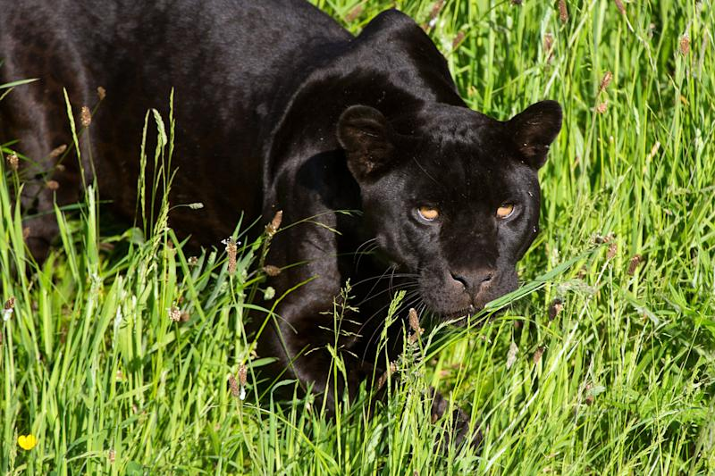 Black Jaguar amidst long green grass (Photo: davemhuntphotography via Getty Images)