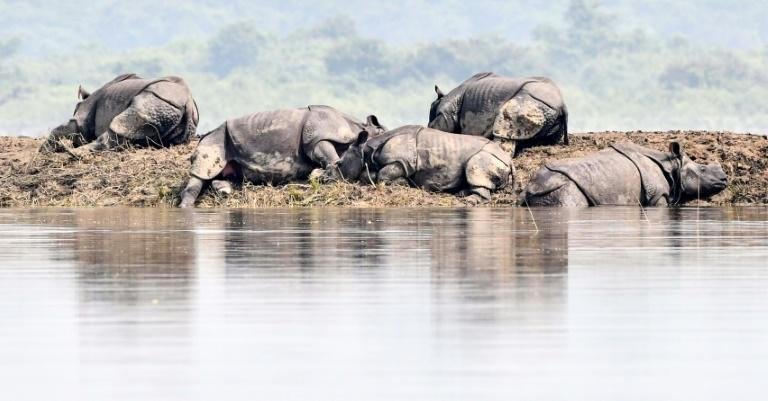 One-horned rhinoceros bask on a bank in flood-hit Kaziranga National Park in India's Assam state (AFP Photo/Biju BORO)