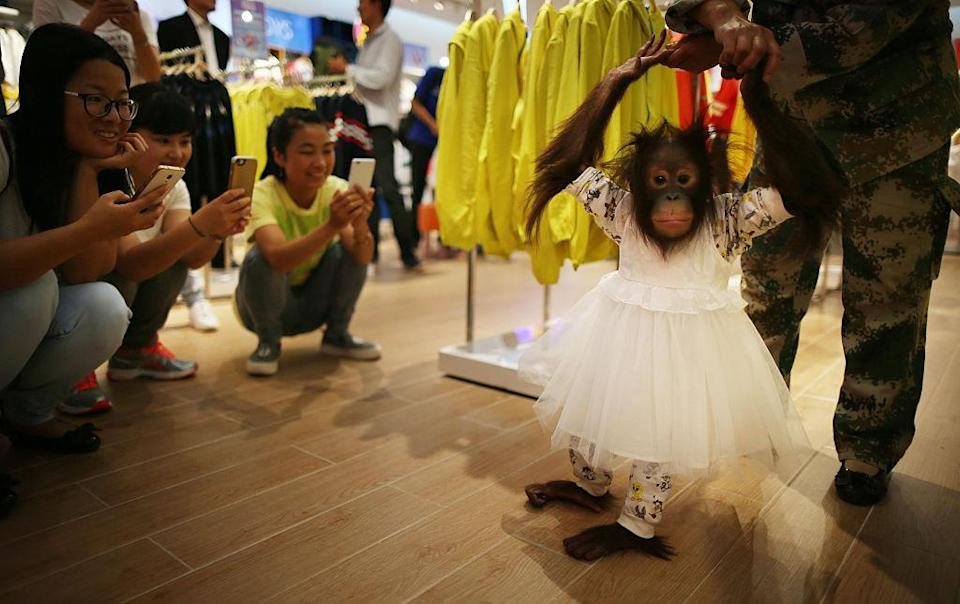 Onlookers are transfixed by the adorable ape. (Photo: Getty Images)