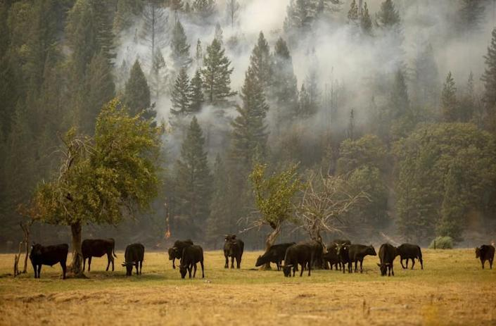 Cows graze in a pasture as the Dixie Fire burns in Genesee, Calif., on Saturday, Aug. 21, 2021. (AP Photo/Ethan Swope)
