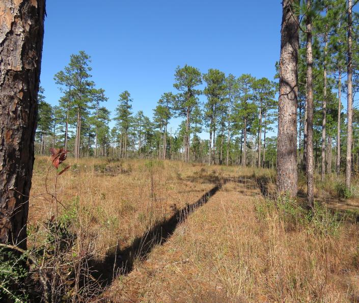 A stand of 80- to 85-year-old longleaf pines and an open, grassy area where seedlings can grow unhampered -- including a few at the top of the shadow are seen in the DeSoto National Forest in Miss. Landowners and government agencies in nine states from Texas to Virginia are working to bring back longleaf pines, planting seedlings in some areas and managing others to remove shrubs and other kinds of trees. (AP Photo/Janet McConnaughey)