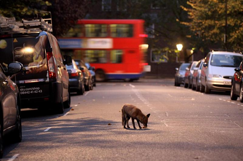 Urban: There is now a higher density of red foxes in towns and cities than the countryside: Getty Images