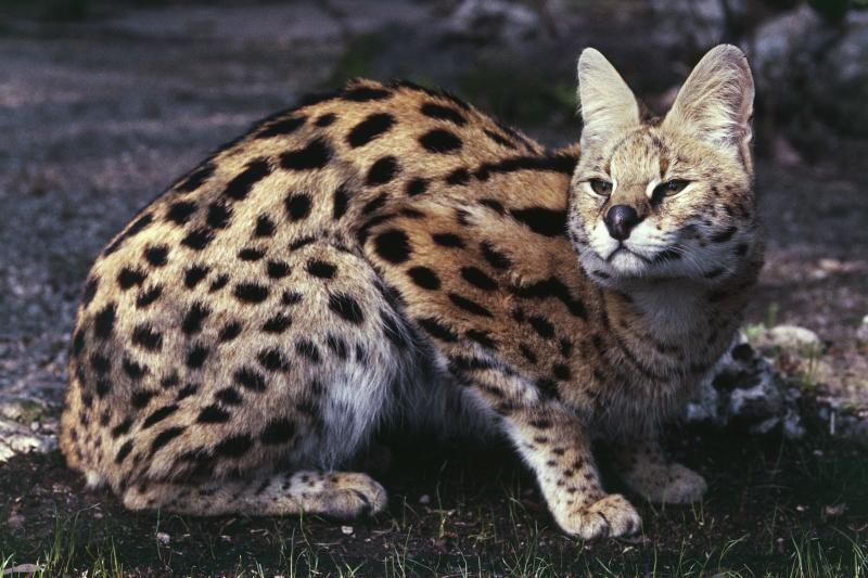 UNSPECIFIED - MARCH 03: Serval (Leptailurus serval), Felidae. (Photo by DeAgostini/Getty Images)