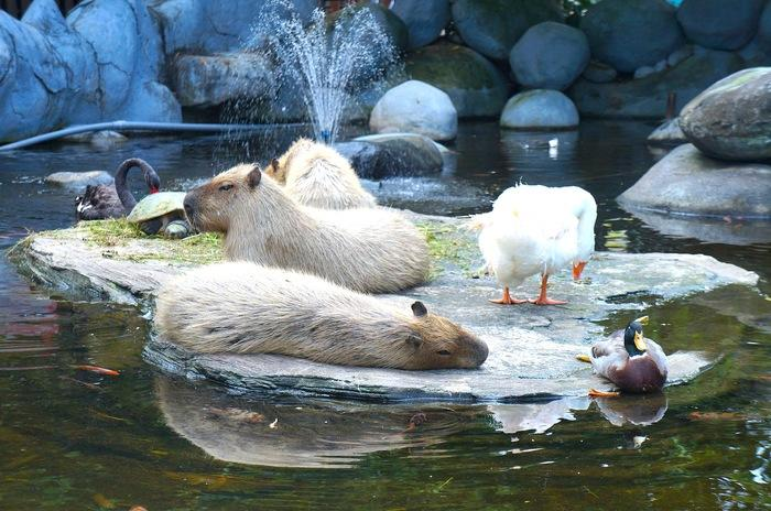 Capybara: The animal collection consists of species from around the world, such as handsome tigers from Africa and Sumatra, the biggest rodent, a capybara, from South America, various kinds of small apes mostly from South America, as well as orangutans from Indonesia. (