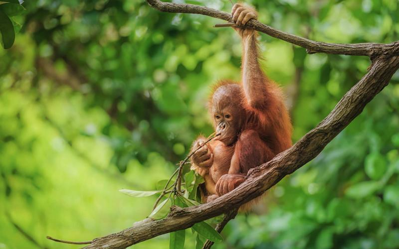 Orangutan's in Malaysia and Indonesia are endangered - Getty Images Contributor