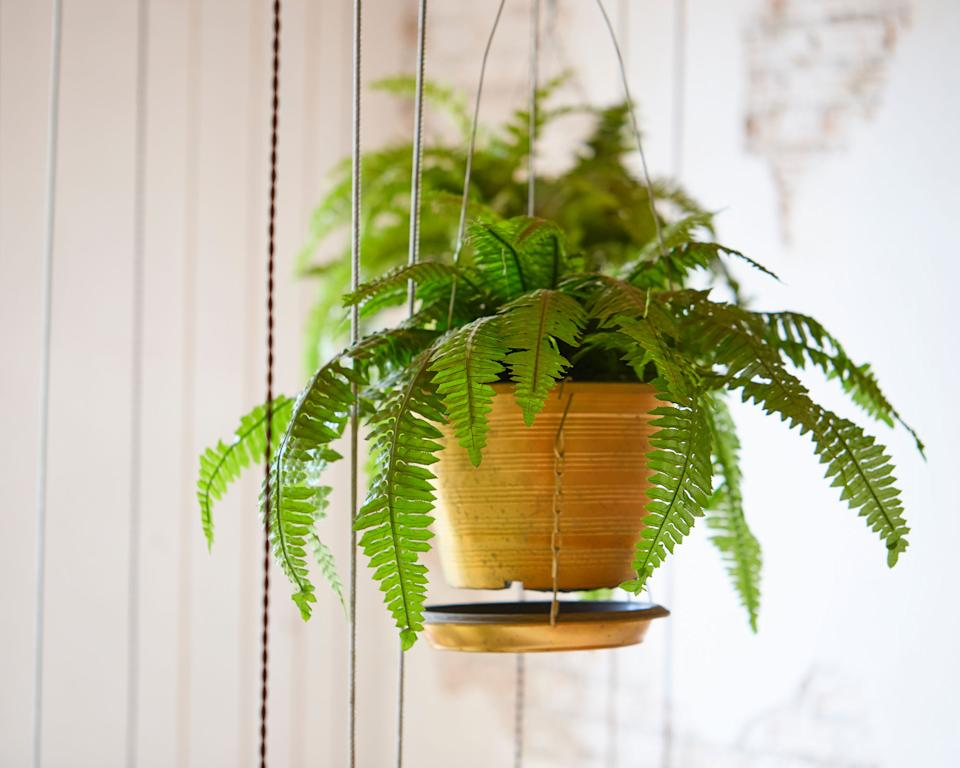 Hardest houseplants to keep alive boston fern
