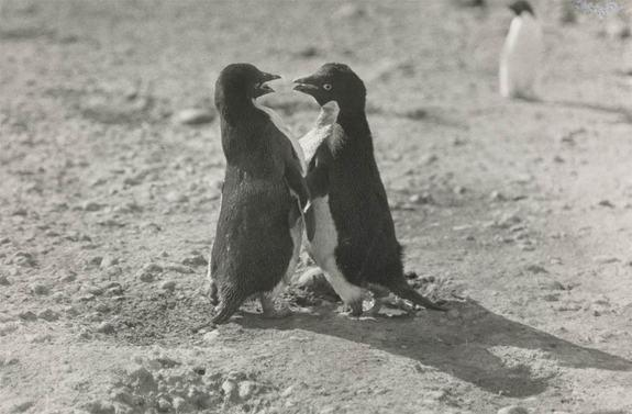 An Adelie penguin couple in a photo taken by George Levick, a surgeon and zoologist aboard Captain Scott's 1910 South Pole expedition.