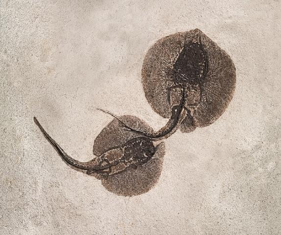 This fossil immortalizes stingray sex of the Eocene. The male and female fat-tailed stingrays (Asterotrygon maloneyi) shown here were likely mating or just about to mate when they were killed, researchers believe.